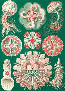 The Art and Science of Ernst Haeckel, kwal, jellyfish, Discomedusae, Schweibenquallen