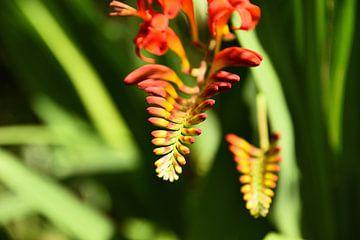Orange-rote Crocosmia-Blüten vor grünem Hintergrund. von Christa Stroo fotografie