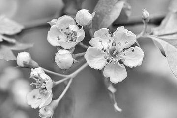 Frühlingsblüte (Schwarz und Weiß) von Andrea de Vries