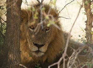 Löwe in Südafrika