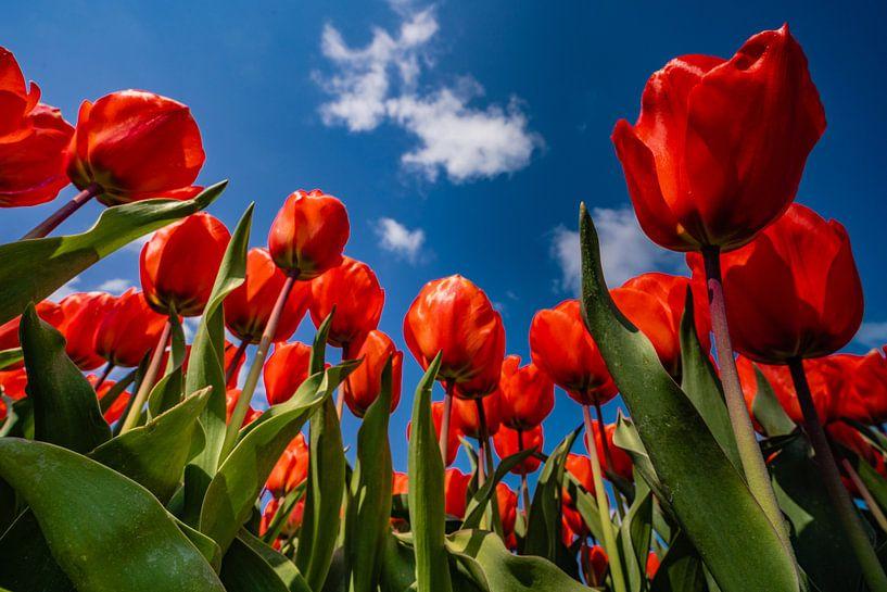 De tulpen in hollandse drie kleur van Albert Lamme