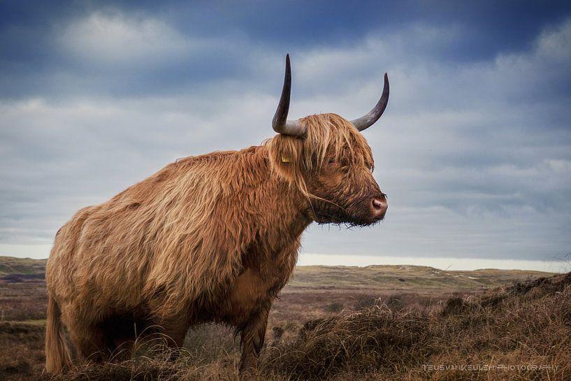 Schotse Hooglander in de duinen van Texel van Teus van Keulen