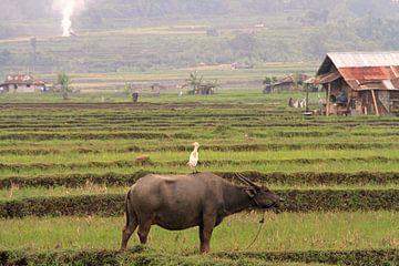 Buffle d'eau et héron à Sumatra sur Gert-Jan Siesling