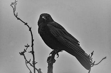 Raven Odin van mario proeter