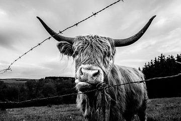 Schottischer Highlander von Lucia Leemans