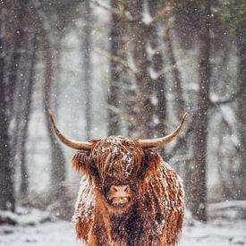 Portret van een Schotse Highlander koe in de sneeuw van Sjoerd van der Wal