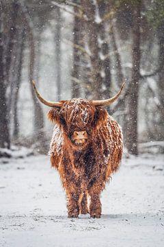 Porträt einer schottischen Highlander-Kuh in einem verschneiten Wald von Sjoerd van der Wal
