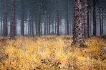 Geel gras in mistig naaldbos van Peter Bolman
