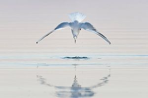 Meeuw in duikvlucht, met reflectie van Marieke de Jong