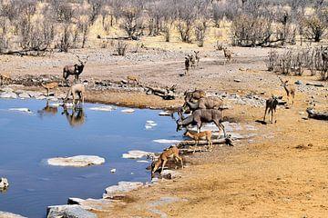 Kudu und Impala an der Wasserstelle von Merijn Loch
