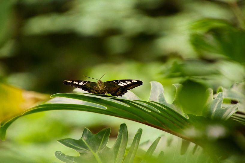 De zingende vlinder van Koop je Canvas