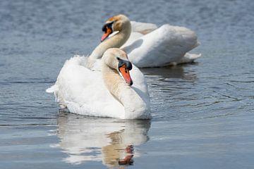 Zwanen / Two mute swans swimming in the water van Elles Rijsdijk
