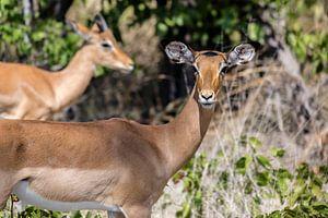Het oogcontact met een impala