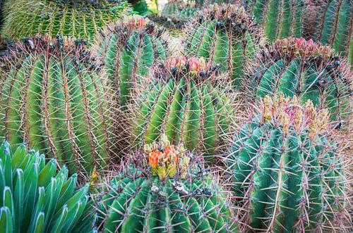 Bloeiende bolcactussen