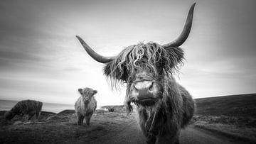 Schottische Highlander von Tim Kreike