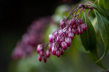 Roze trosjes bloemen van Ingrid Aanen