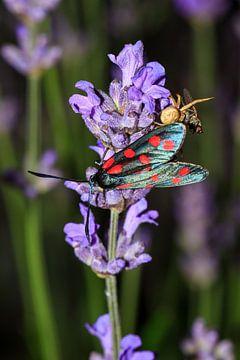 Sint-jansvlinder op lavendel in de nacht von Dennis van de Water