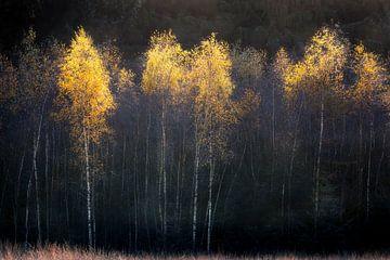Herfstsfeer met berken van Ton Drijfhamer