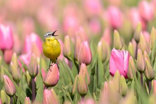 Gele Kwikstaart op een tulp van