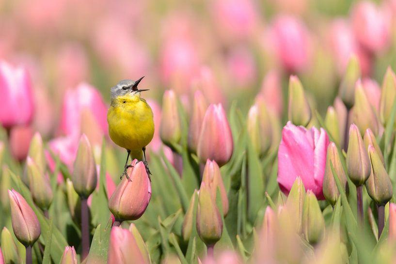 Gele Kwikstaart op een tulp van Martin Bredewold