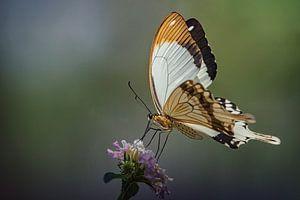 Vlinder van Ed Peeters