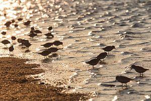 Groepje drieteenstrandlopers op het strand van Schiermonnikoog van Annie Postma