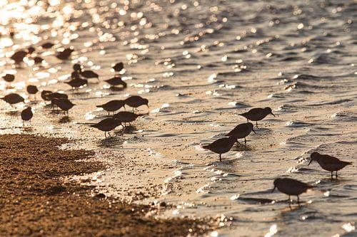 Groepje drieteenstrandlopers op het strand van Schiermonnikoog