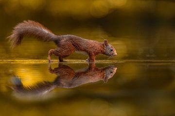 Golden Squirrel van Desirée Couwenberg