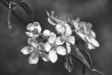 Kirschblüte von Claudia Moeckel