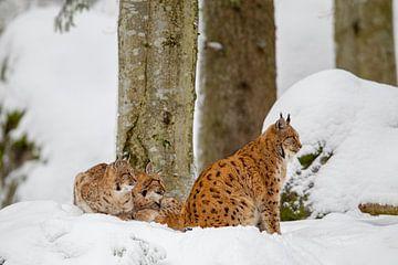 Luchse (Lynx lynx) von Dirk Rüter