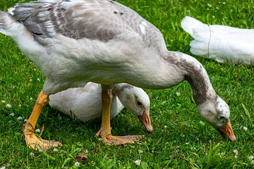 Jonge witte ganzen op een grasweide van Gerwin Schadl