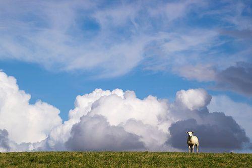 Schaf auf dem Deich von