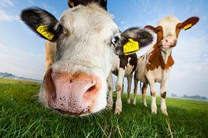 Nieuwsgierige koeien, van dichtbij vanuit een lage hoek