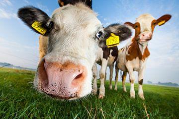 Nieuwsgierige koeien, van dichtbij vanuit een lage hoek van Marcel Bakker