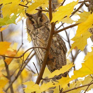Ransuil (Long-eared owl) van Jan Katsman
