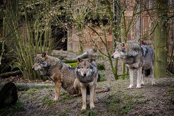 Drie wolven van Abi Waren