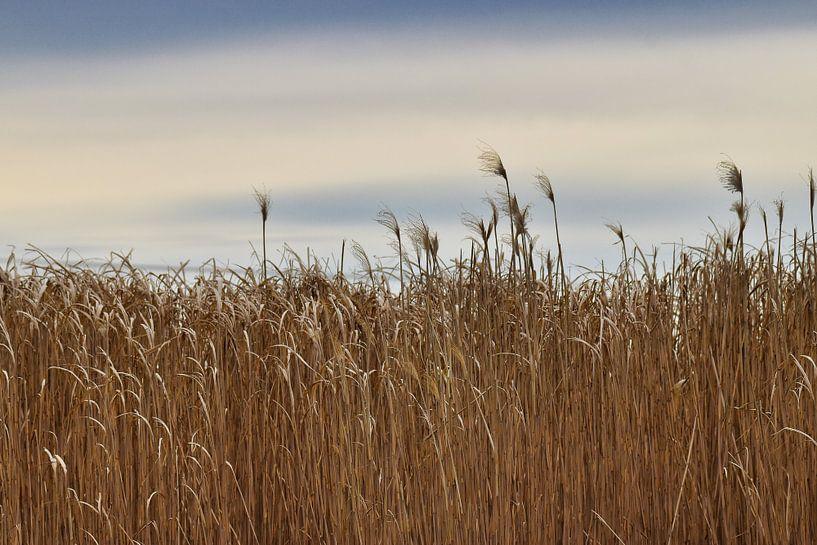 Schilf im Wind von Miroslav Plahusch