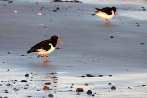 Scholeksters op het strand