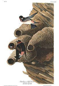 Amerikaanse Klifzwaluw