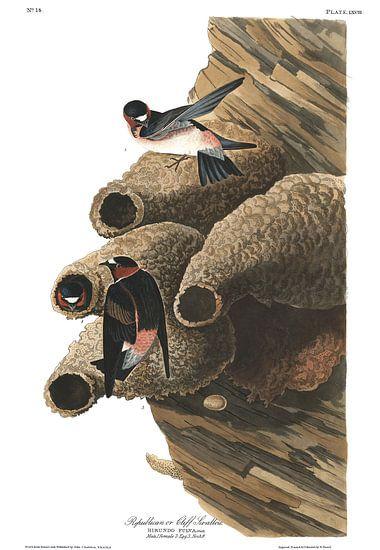 Amerikaanse Klifzwaluw van Birds of America