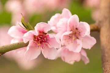Roze bloesem van de nectarine van Marijke van Eijkeren