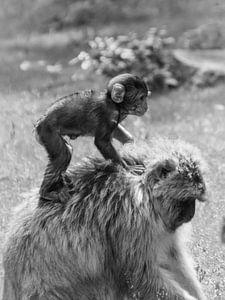 Paardje rijden op mama aap. van