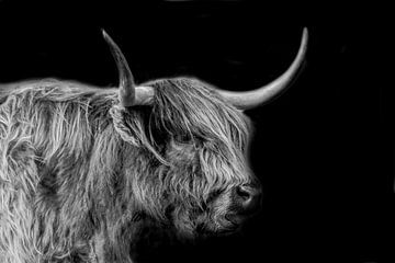 Schottischer Highlander, großer Weidegänger von Gert Hilbink
