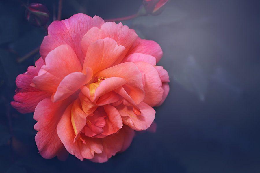 Het was haar roos..