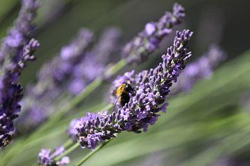 Honingbij op lavendel van Cora Unk