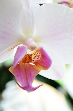 Pink Orchid von Madelon Thijs