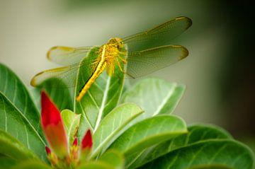 Libellen van Olivier Van Acker