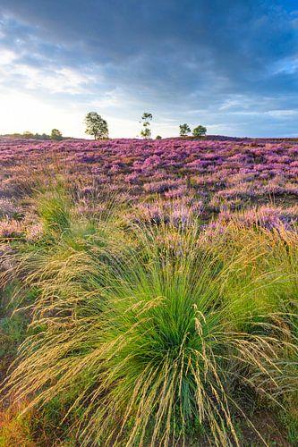 Zonsopgang over bloeiende heide op de Veluwe in de zomer