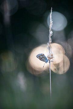 Vlindertje in het avondlicht van Bob Daalder