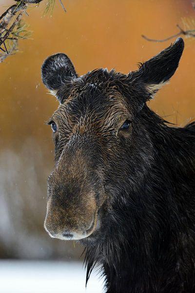 Moose * Alces alces *, headshot of an adult female van wunderbare Erde